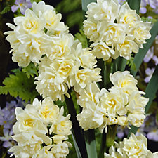 Hayloft Plants 18x Early Cheer Narcissus Bulbs Collection