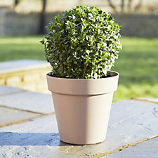Plants2Gardens 20cm Box Ball Shrub with 3 Litre Capri Planter