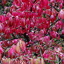 517371 - Plants2Gardens Euonymus Alatus in 5 Litre Pot