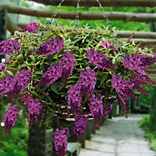 Mont Rose of Guernsey 9cm Weeping Buddleia Purple Plant