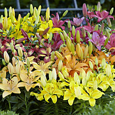 507772 - Mont Rose of Guernsey 50x Asiatic Lilies Bulb Collection