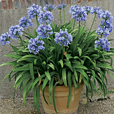 De Jager Blue Agapanthus Giant Bare Root