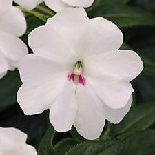 de Jager 6 x Impatiens Big Bounce Young Plants