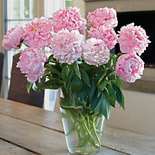 de Jager Double Pink RHS AGM Peonies Giant Bare Root