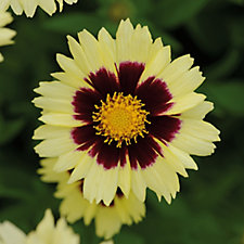 Plants2Gardens 6 x Coreopsis Plugs