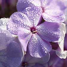 Hayloft Plants 5x Cottage Garden Phlox Bare Root Collection