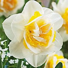 508276 - de Jager 18 x Daring Double Daffodil Bulbs