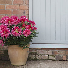 Plants2Gardens Hybrid Rhododendron Cosmopolitan with Planter