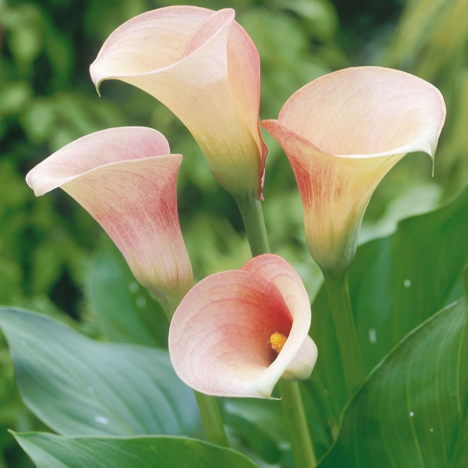 Plants 2 Gardens Calla Lily Pink Promise Bulb Collection