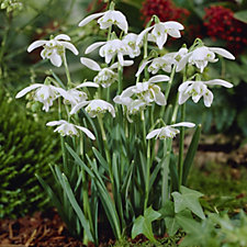 Hayloft Plants 25 x Double Flowered Snowdrop Plants in the Green - 507678
