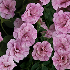 de Jager 6 x Double Calibrachoa Can Can Young Plants