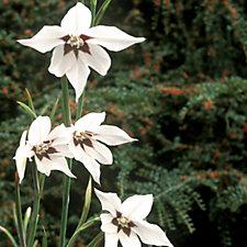 Hayloft Plants 120 x Fragrant Peacock Lily Bulbs