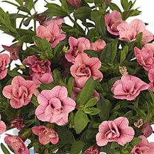 Hayloft 10 x Double Delight Calibrachoa Young Plants