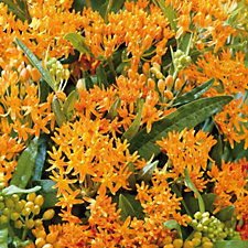Hayloft Plants 6 x Asclepias Bare Root Collection