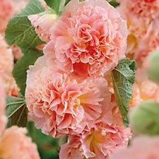 Hayloft Plants 6 x Hollyhock Peaches & Dream Young Plants