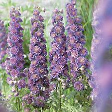 Hayloft Plants 3 x Delphinium Highlander Sweet Sensation Bare Roots