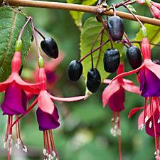 Thompson & Morgan 10 x Fuchsia Berry Plug Plants