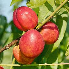 Plants2Gardens 1 x Peach & 1 x Nectarine Trees in 4 Litre Pots