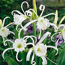 Plants2Gardens 6 x Hymenocallis Festalis Bulbs