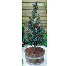 Hayloft Plants 1 x Blue Angel Christmas Holly with Decorative Pot & Compost