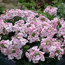Plants2Gardens 6 x Velox Pink & Soft Pink Plug Plants