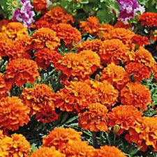 Thompson & Morgan 24 x Marigold Fireball Plug Plants