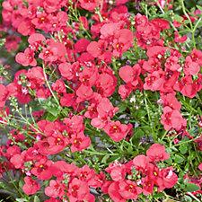 Plants2Gardens 6 x Diascia Plug Plants