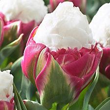 517488 - Mont Rose 10 x Tulip Ice Cream Bulbs