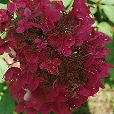 Hayloft Plants 2 x Hydrangea Wims Red in 11cm Pot