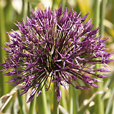 517489 - WS Warmenhoven 10 x Allium Purple Rain Improved bulbs