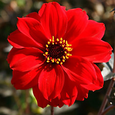 Mont Rose of Guernsey 5 x Dahlia Bishop of Llandaff Bare Roots