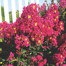 Hayloft Plants Lagerstroemia Indica Berry Dazzle in 9cm Pot