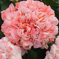 Mont Rose of Guernsey 10x Geranium Rosebud Appleblossom Plugs