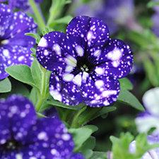 Thompson & Morgan 10 x Petunia Night Sky Plug Plants & 100g Fertiliser
