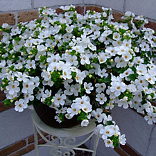 510092 - Plants2Gardens 20 x Perfect Container Plug Plants