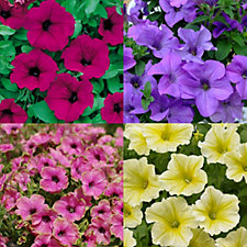 Mont Rose of Guernsey 12 x Trailing Petunia Surfinia Jumbo Plugs