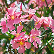 Plants2Gardens Oleander Shrub in 15 Litre Pot
