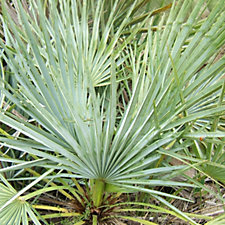 Paul Chessum Nurseries Blue Mediterranean Fan Palm Cerifera in 3 Litre Pot