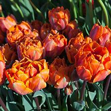 508395 - Thompson & Morgan 12 x Tulip Double Dutch Bulbs