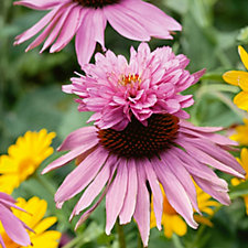 508495 - Plants2Gardens 3x Echinacea Purpurea Doubldecker in 9cm Pots
