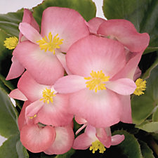 Plants2Gardens 20 x Begonia GL Bi-Colour Young Plants