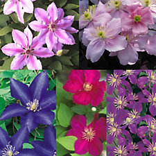 Mont Rose 5 x Clematis Colour of Summer Jumbo Plugs