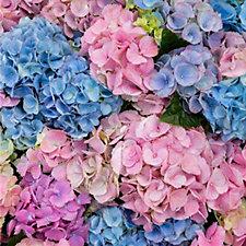 Mont Rose Hydrangea LA Dreamin Blue & Pink Blooms 14cm Potted Plant