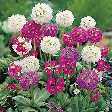 Mont Rose 10 x Primula Denticulata Young Plants