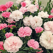 507498 - Thompson & Morgan 10 x Dianthus Yesterday Today Tomorrow Plug Plants & Snips