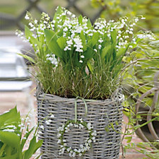 509198 - Hayloft Plants 15 x Lily of the Valley Bare Roots