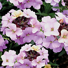 Hayloft Plants 5 x Wallflower Erysimum Skies Jumbo Young Plants