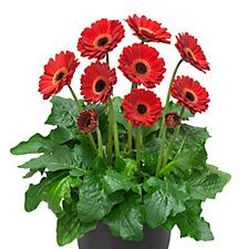 507499 - Thompson & Morgan 3 x Gerbera Sweet Ruby 7cm Pot Plants