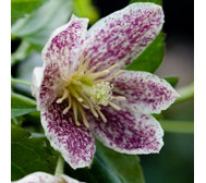 Hayloft Plants 3 x Winter Clematis Collection in 7cm Pots