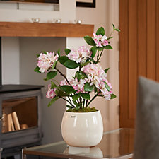 707421 - Peony Potted Rhododendrum in Ceramic Bowl